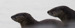 River Otters 0407