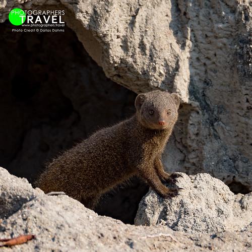 Dwarf Mongoose - Sabi Sabi 2015