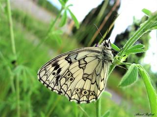 Butterfly 1442