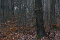 green winter wind (Mindaugas Buivydas) Tags: lietuva lithuania color winter february tree trees hornbeam forest mood moody sadnature seaside pajūrioregioninisparkas pajūrisregionalpark giruliai fog mist wet rain mindaugasbuivydas softgreen wetforest