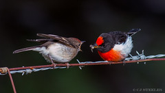 Red-capped Robins (chrissteeles) Tags: redcappedrobin robin sandycreekconservationpark bird birding southaustralia sa