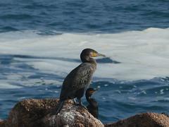 P1010712 (jesust793) Tags: duo pájaros birds mar