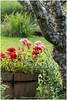 Geraniums (HP031944) (Hetwie) Tags: landschap musje1 nature landscape geranium flower bloempot natuur auvergne lafougeraie malvieres mastercass frankrijk