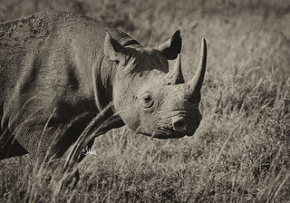 Black Rhino in the Masai Mara. Its a real treat to see them in the wild  - 4303b+2