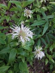 Monarda clinopodia (tiger.ben94) Tags: lamiaceae monarda bergamot whitebergamot monardaclinopodia