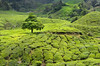 Cameron Highlands (Theo Crazzolara) Tags: cameron highlands cameronhighlands pahang tee malaysia malaysien asien tea estates plateau landscape scenery scenic agriculture tree baum