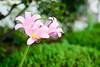 216/365 (Daegeon Shin) Tags: nikon d750 nikkor 55mmf28 365 flower flor dof bokeh lycorissquamigera 상사화 니콘 니콘렌즈 꽃 심도 보케 빛망울