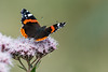Red Admiral (Tim Melling) Tags: vanessaatalanta red admiral butterfly west yorkshire hemp agrimony timmelling