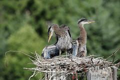Teenagers (PamsWildImages) Tags: heron bird blue chicks nest nature wildlife canada bc pamswildimages