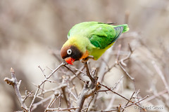 Papagei 2 (rgr_944) Tags: vögel vogel bird oiseau tiere animaux animals natur outdoor canoneos80deos7dmk2eos5dmk4 rgr944 tier animal wildlife