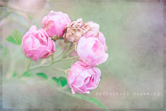 Fading but Beautiful! (DefinitelyDreaming) Tags: lensbaby velvet85 roses flowers dying gardenphotography pink textures