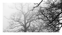 arbor hibernus (richieb56) Tags: black white schwarz weiss natur nature tree baum mist nebel winter arbor hibernus foreground vordergrund rahmen detail minimal kreativ creativ view pov pflanze gewächs plant
