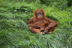 Sumatran Orangutan (Pongo abelii) (Seventh Heaven Photography) Tags: sumatran orangutan pongoabelii pongo abelii primate chester zoo cheshire england nikond3200 animal ape