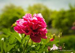 Vivace (patoche21) Tags: alsace europe france grandest hautrhin nature fleur flore pivoine patrickbouchenard flower rouge garden