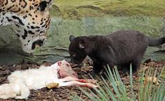 jaguar, born 28 6 2017 artis BB2A2167 (j.a.kok) Tags: jaguar pantheraonca blackjaguar zwartejaguar zoogdier zuidamerika southamerica cat kat mammal dier animal rica artis