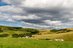 crovie sheeps :-) (ChicqueeCat) Tags: animals landscape nikon d3300 sheeps