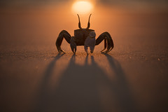 Ghost Crab (Daniel Trim) Tags: ocypode ghost crab beach sunset morondava madagascar travel africa african nature wildlife animals photography