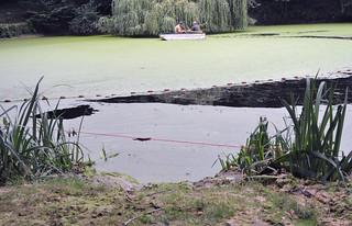 Peeler Feldchen - Fischsterben wegen Entengrütze (Wasserlinsen)