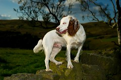 Welldone Rupert we've clocked up 52miles walking in 5 days ! (TrevKerr) Tags: dog dogportrait pup spaniel englishspringerspaniel nikon d3s nikonsb900