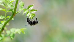 Carpenter bee (Franck Zumella) Tags: bee abeille carpenter charpentiere black noir noire pollen fly flying voler flower fleur yellow jaune insect insecte big green vert sony a7s a7 tamron 150600 70300