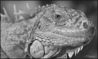 12.07.17 Tropiquaria..Green Iguana