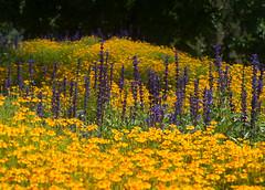 Blumen, Sommer (YvoWupp) Tags: 45mmf18 blumen deutschland essen europa garten gruga jahreszeiten natur omd olympus pflanzen sommer em10 germany europe