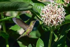 Calliope hummingbird (Selasphorus calliope) juvenile (rangerbatt) Tags: