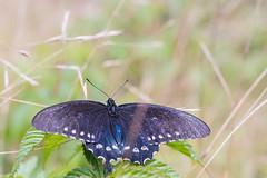 Swallowtail (joehoeper) Tags: swallowtailbutterfly swallowtail 828 pisgah pisgahnationalforest hike westernnorthcarolina northcarolina mountainstoseatrail