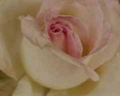Romantic Vintage Rose (Lauren Taliana) Tags: natur garden nikkor elements flickr nature botanical flower floral flora bloom fiore fleur rhswisley flowershow wisley england plant petal petals rhs gardens macro closeup colour white elegant pretty romantic vintage wedding rose