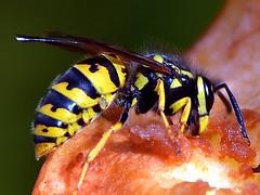 Honey bee eating apple. (robárt shake) Tags: honeybee bee apple biene wespe nature ökologisch ökologie natürlich natural food tier animal nützlich weltlich eat energie power fruchtzucker
