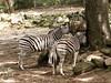 Zebra's (ericderedelijkheid) Tags: ouwehandsdierenpark rhenen dierentuin zoo netherlands
