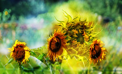 Sunflowers (augustynbatko) Tags: sunflowers flowers garden nature macro blur bokeh summer