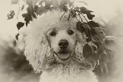 32/52 Ludvig - antique style (Graaspurv) Tags: 52weeksfordogs poodles whitepoodle dogs cutie lovemydog sepia