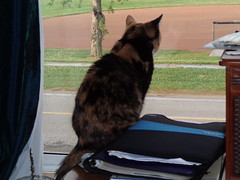 Autumn (universalcatfanatic) Tags: cats autumn tortoiseshell tortie calico orange black white cat sit sitting tall wood wooden table binder book record player vinyl paper look looking out window blue curtain curtains brown tree baseball field park road street sidewalk