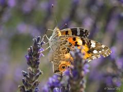 _7060015.jpg (marcol-04) Tags: france m60mmf28 macrophotographie saintetulle papillon zuikodigital insecte omdem1 zd alpesdehauteprovence provencealpescotedazur ngc olympus macro