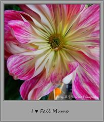 Chrysanthemum 11 (M.J.Woerner) Tags: november fallmums asteraceae chrysanths autumcolors postermums chrysanthemum autumflower