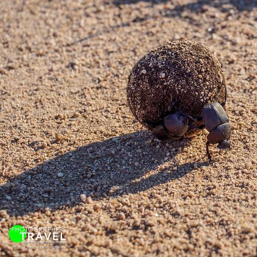 Dung Beetles - Sabi Sabi 2012