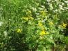 Rainfarn: Gewöhnlicher Rainfarn, blühend 0708201701 (bossco139) Tags: commontansy rainfarn tanacetum tansy cowbitter goldenbuttons
