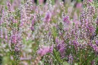Wasp Spider (Argiope bruennichi) - female