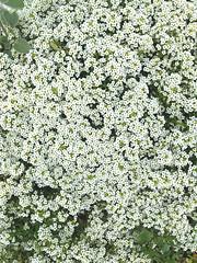 A mass of alyssum (Ruth and Dave) Tags: vandusen botanicalgarden vandusengardens vancouver flower alyssum sweetalyssum alison white