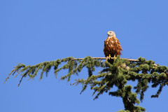Perched on a Pine Tree (Treflyn) Tags: red kite earley reading berkshire uk perch pine tree bird raptor prey