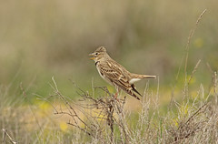 Singing Calandra Lark (Andrewsteeleuk) Tags: march2017 spring2017 eos7dmarkii canonef400mmf56lusm canon dslr spain catalan steppes nature wildlife animal bird calandralark melanocoryphacalandra white brown grey black green bush yellow