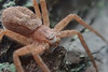Pink spider on pine bark (talaakso) Tags: olympustoughtg5 toughtg5 tg5 olympus attributioncreativecommons creativecommons