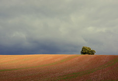 The hiding tree (Simon Verrall) Tags: field tree grey sky september 2017 sussex petersfield farming minimalist landscape autumn