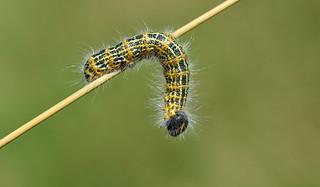 Buff Tip larva (Phalera bucephala)