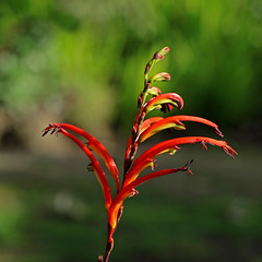 Chasmanthe bicolor (AlfredSin) Tags: alfredsin canoneos760d canonef100mmf28lmacro australianflowers australianplants redflowers