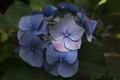 """Hydrangea macrophylla ser. """"Rotkelchen"""" (wietsej) Tags: hydrangea macrophylla ser rotkelchen sony a7rii zeiss sel1670z 1670 flower arboretum hetleen eeklo belgium wietse jongsma"""