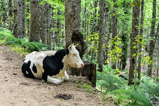 Vache dans la forêt d'Akfadou