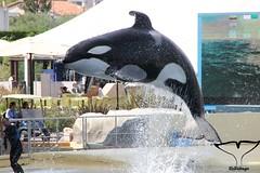 IMG_7493 (Bebelouga) Tags: orque marineland killerwhale orca wikie keijo inouk moana