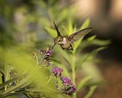 Taste for Summer...{Explored} (DTT67) Tags: hummingbird bird bif birdinflight tiny small wild wildlife nature summer hovering canon 1dxmkii 500mmii 14xtciii